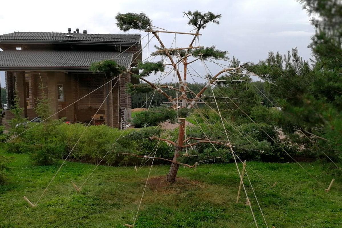 Сосна бонсаи в саду